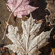 Maple Leaves In Water Art Print