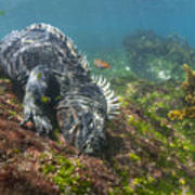 Marine Iguana Feeding On Algae Punta Art Print