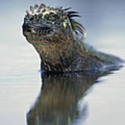 Marine Iguana Galapagos Islands Art Print