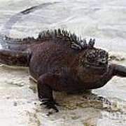 Marine Iguana Galapagos Art Print