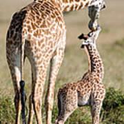 Masai Giraffe Giraffa Camelopardalis Art Print