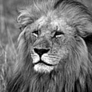 Masai Mara Lion  Art Print