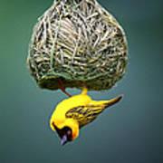 Masked Weaver At Nest Art Print