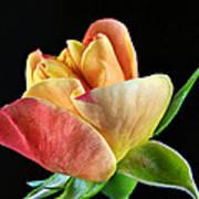 Minature Rose  Art Print
