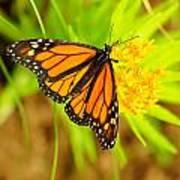 Monarch Butterfly Art Print by Carol Toepke