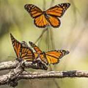 Monarch Butterfly Grove Art Print