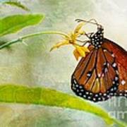 Queen Butterfly Danaus Gilippus Art Print