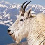 Mountain Goat Portrait On Mount Evans Art Print