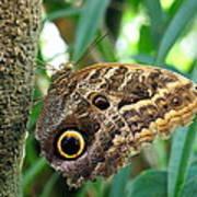 Mournful Owl Butterfly Art Print