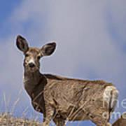 Mule Deer   #0722 Art Print