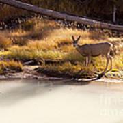 Mule Deer   #3942 Art Print