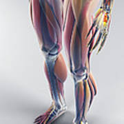 Muscles Of The Lower Body Art Print