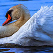 Mute Swan 2 Art Print