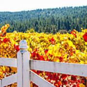Napa Fall Grapes Art Print