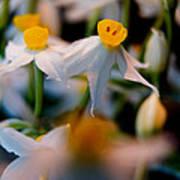 Narcissus Tazetta Art Print