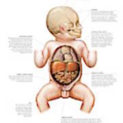 Newborn Internal Organs Art Print