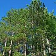 North Woods Tree Line Art Print