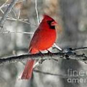 Northern Cardinal 2  Art Print