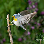Northern Parula Warbler Art Print