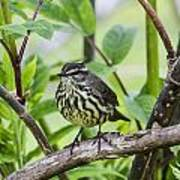 Northern Water Thrush Art Print