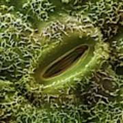 Oak Leaf Stoma (quercus Robur) Art Print