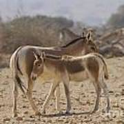 Onager Equus Hemionus 1 Art Print