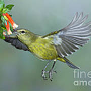 Orange-crowned Warbler Art Print