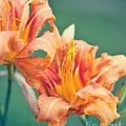 Orange Double Daylily Art Print