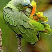 Orange-winged Parrot Amazona Amazonica Art Print