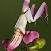 Orchid Mantis Art Print