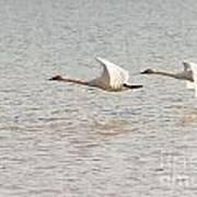 Pair Of Flying Trumpeter Swans Cygnus Buccinator Art Print