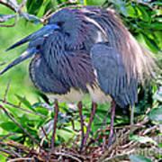 Pair Of Tricolored Heron At Nest Art Print