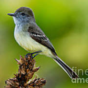 Pale-edged Flycatcher Art Print