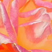 Peachy Pink Rose Art Print