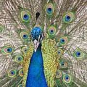 Peacock Full Plumage Art Print