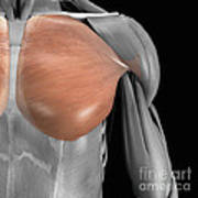 Pectoralis Major Muscle Art Print