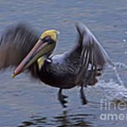Pelican Takeoff Art Print