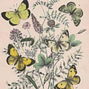 Pieridae Art Print