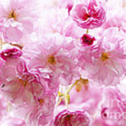 Pink Cherry Blossoms  Art Print by Elena Elisseeva
