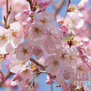 Sunlight On Spring Blossoms Art Print
