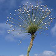 Pipewort Grassland Plants Blooming Art Print
