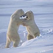 Polar Bear Males Sparring Churchill Art Print