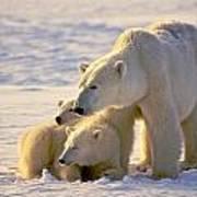 Polar Bear Mother And Cubs Art Print