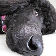 Poodle Close-ups 1 Art Print