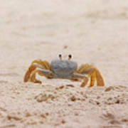 Portrait Of A Ghost Crab Art Print