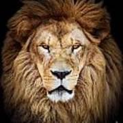 Portrait Of Huge Beautiful Male African Lion Against Black Backg Art Print