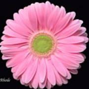 Pretty Pink Gerbera Daisy Art Print