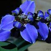 Purple Iris 2 Art Print