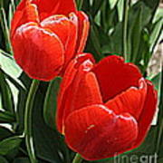 Radiant In Red - Tulips Art Print