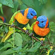 Rainbow Lorikeet Pair Art Print